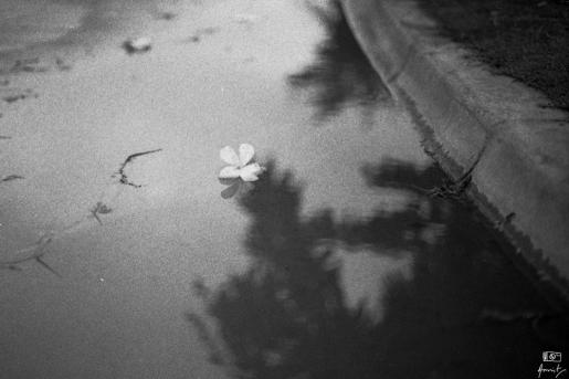 A fallen Firangipani flower.